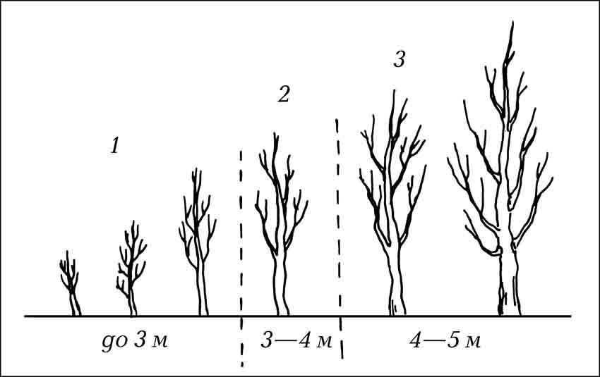 Виды деревьев по высоте